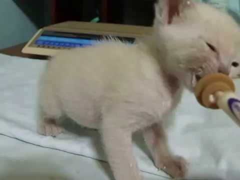 Zanadu Tonkinese kitten