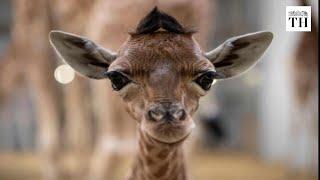 Giraffes close to being 'critically endangered'