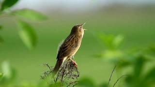 Feldschwirl - Grasshopper Warbler