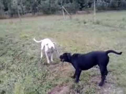 Cane Corso ˛& Dogo Argentino - YouTube