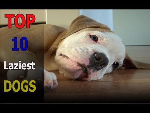 Top 10 laziest dog breeds in the world | Top 10 animals