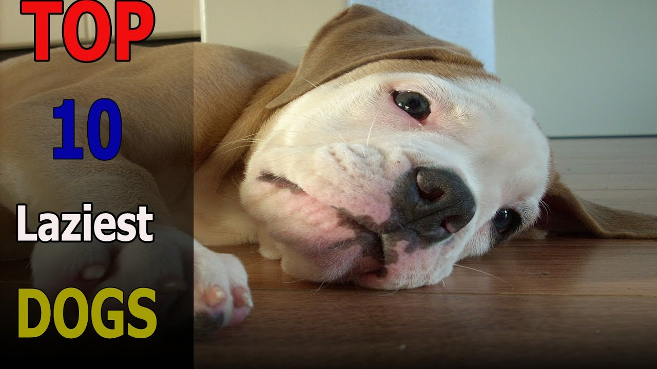 Top 10 Laziest Dog Breeds In The World Top 10 Animals Youtube