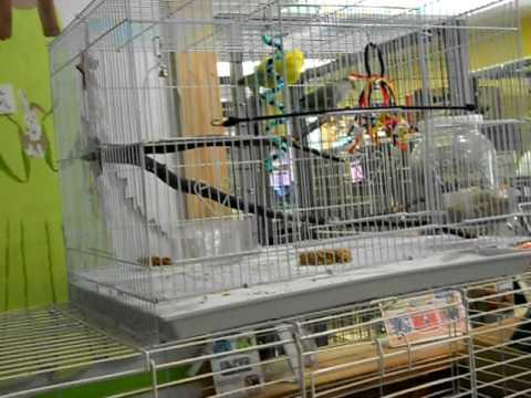 Beautiful Love Birds for Adoption!.AVI