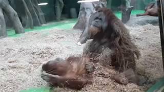 Секс в Московском зоопарке! Куда смотрит администрация?!(Секс в Московском зоопарке при людях! Милые орангутаны решили скрасить свой досуг., 2019-03-15T08:11:23Z)