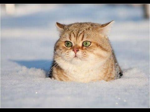 Los Gatos más Chistosos Jugando en la Nieve. Vídeos para morir de risa 2016
