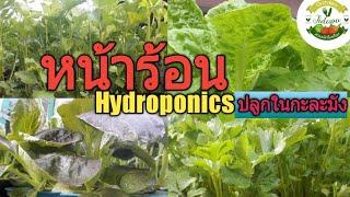 ปลูกผักหน้าร้อน เจอฝนต้องทำไง?? || ผักไฮโดรโปนิกส์ ปลูกในกะละมัง ก็ปังได้ ep.100