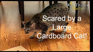 Scared of Large Cardboard Cat! Kittens Investigate!