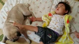 パグ犬ムゥが、1歳児と布団を取り合う二戦目です。今度は、布団を死守で...