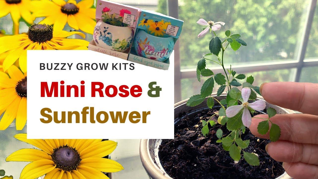 Planting Buzzy Grow Kit From Cvs I Buzzy Mini Rose Sunflower Buzzygrowkit Youtube