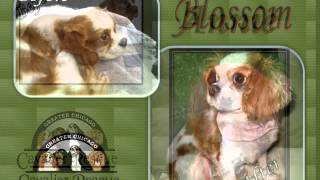 Greater Chicago Cavalier Rescue Channel (gccr)