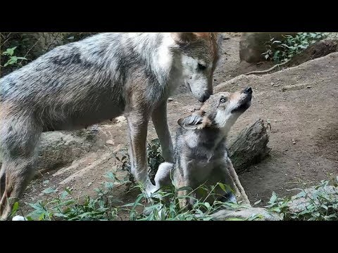 Bath Time for Mexican Gray Wolf Pup