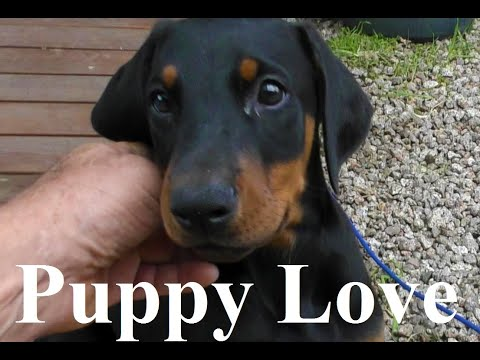 Puppy love: Meet Our Adorable Doberman Puppies: Female Doberman: Doberman Puppy.