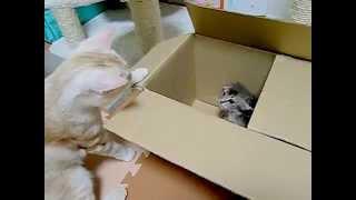 Kitten threat子猫の威嚇「シャーシャー子猫」4