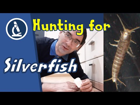 🔬 117 - How To Catch SILVERFISH And Put Them Under The Microscope | Amateur Microscopy