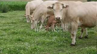 Troupeau allaitant de Bovin Blonde d'Aquitaine en pâture  Ref 120709M026