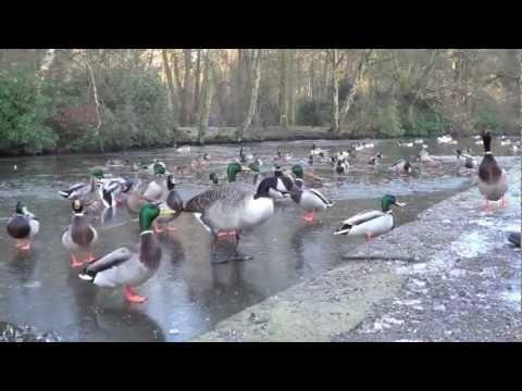 Ducks on Frozen Lake (Bramhall Park)