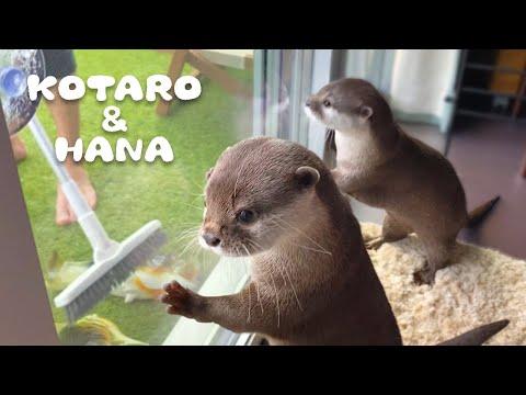 カワウソコタローとハナ-父ちゃんとプール掃除-otter-kotaro&hana-let's-clean-up-the-pool