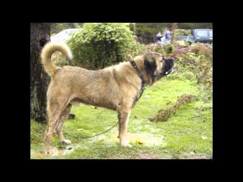 Anatolian Shepherd Dog (dog breed HD slide show)! / !