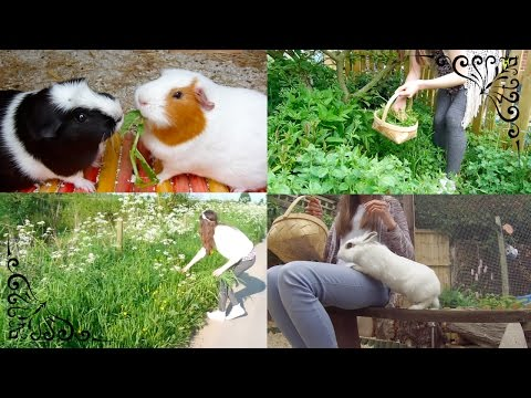 How To: Collect Forage For Guinea Pigs & Rabbits | Part 1