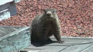 Mother Groundhog
