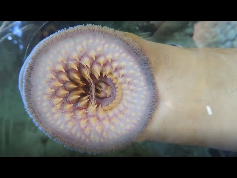 Facts: The Sea Lamprey