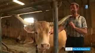 Béarn: la vache béarnaise vedette d'un livre