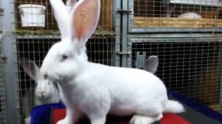 Купить кроликов великанов(, 2016-01-26T18:13:28.000Z)