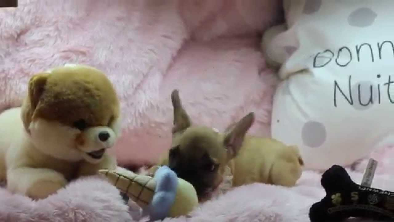 beautiful small french bulldog puppies for sale puppy