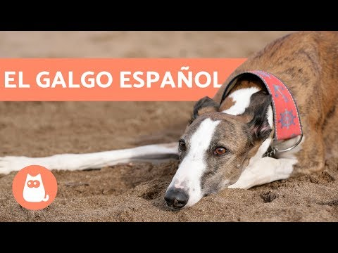Galgo español - Características y cuidados