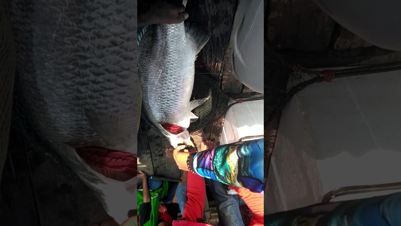 Monster Barramundi 20 kg berhasil terselamatkan di spot ...