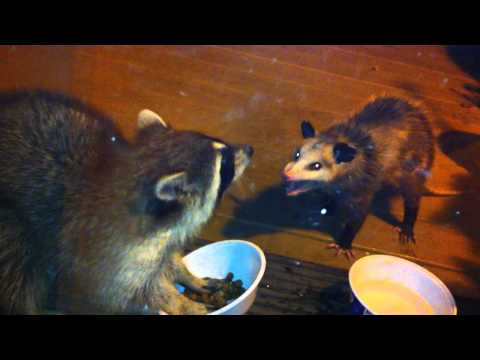 Raccoon vs. Possum