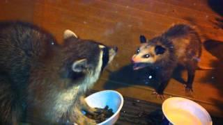 Raccoon vs. Possum thumbnail