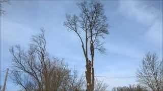 Oak Tree Removal Feb 25 And 27 2015