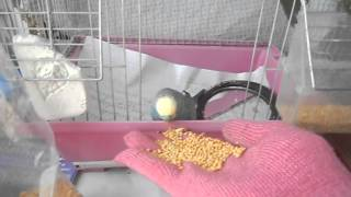 Как правильно кормить попугая!