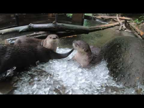 River Otters Love Playing And Sliding In Ice