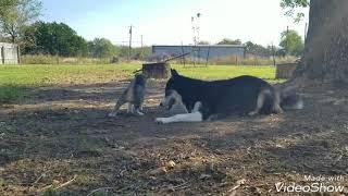 Miki's beautiful husky puppies 🤗