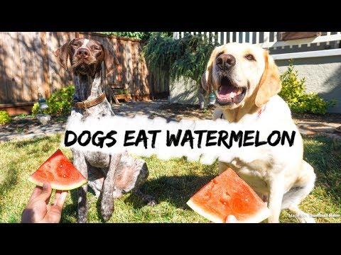 DOGS EAT WATERMELON