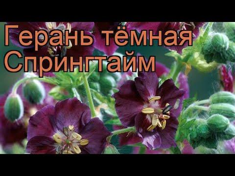 Герань тёмная Спрингтайм (geranium springtime) 🌿 обзор: как сажать, саженцы герани Спрингтайм