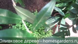 Оливковое дерево в оранжерее(Что за растение - оливковое дерево и как его выращивать? http://homesgardens.ru/komnatnye-rasteniya/olivkovoe-derevo-maslina В этом видео..., 2015-01-13T21:33:37.000Z)