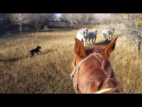 Cullin Cow Dogs