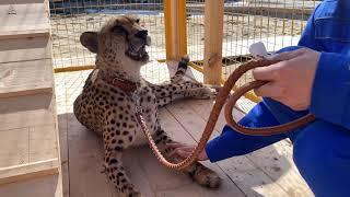 Слепой гепард на поводке. Ичель учится доверять.