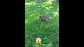 Cairn Terrier Kills Backyard Snake