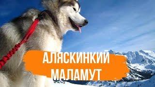 Аляскинский маламут - Интересные Факты. Все о породе Аляскинский Маламут
