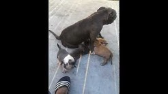 blue bully pups from duval complete kennels in Jacksonville, florida