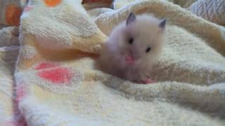 Ангорский хомяк умывается angora hamster washing himself