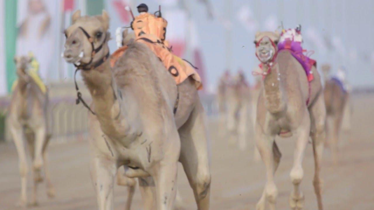 Camel racing dubai betting line top 4 epl betting game