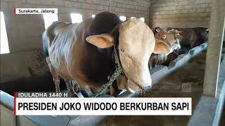 Ini Dia Penampakan Sapi-Sapi Kurban Milik Presiden Jokowi