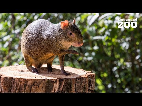 Helsinki Zoo´s Azara´s Agoutis enjoy their new outdoors enclosure (Dasyprocta azarae) 2017