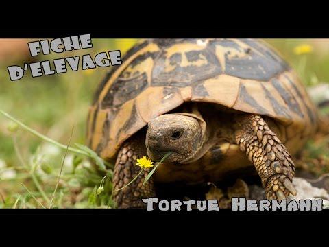 Tortue hermann / Elevage -  Renseignements - Maintien de A à Z