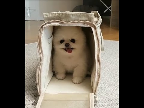 White Cute Pomeranian Puppy Playing Hide and Seek